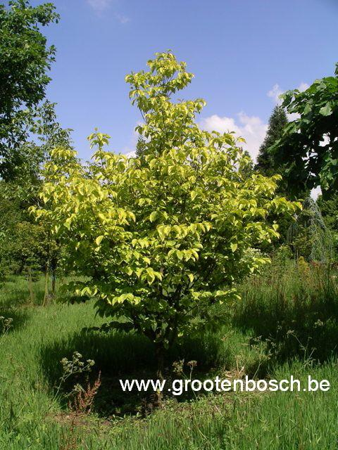 Cornus florida 39 rainbow 39 arboretum grootenbosch - Cornus florida rainbow ...